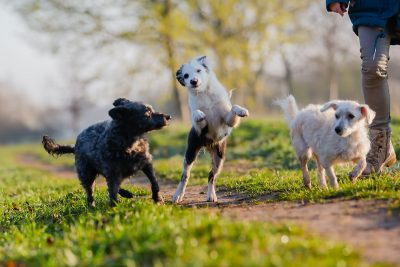 Person standing with three small dogs that are playing on a field path.