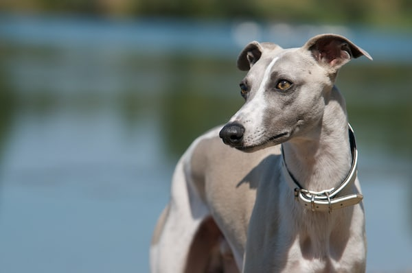 Whippet dog portrait with water in background.