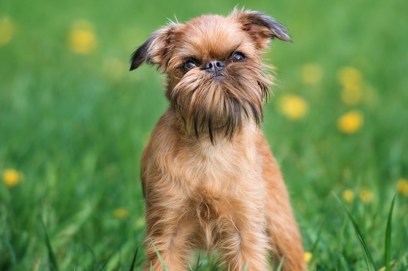 Brussels Griffon dog with beard posing outdoors in summer.