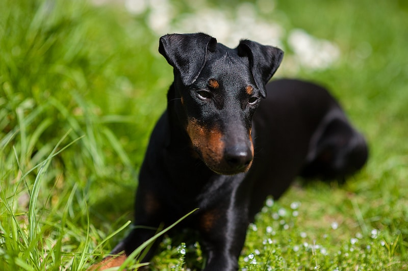 Manchester Terrier dog laying down on green grass.