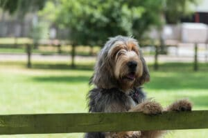 Large grey and cream coloured Otterhound standing with front feet on top of wooden fence looking towards camera.
