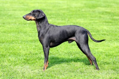 Standard Manchester Terrier standing on a green grass lawn, side on view.