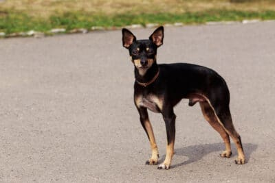 Close-up portait of a Toy Manchester Terrier standing outside.