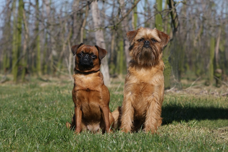 Portrait of a Wiry Coat and Smooth Coat Brussels Griffon dog standing side by side outdoors.