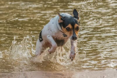 Rat Terrier jumping out of the water while playing outside.