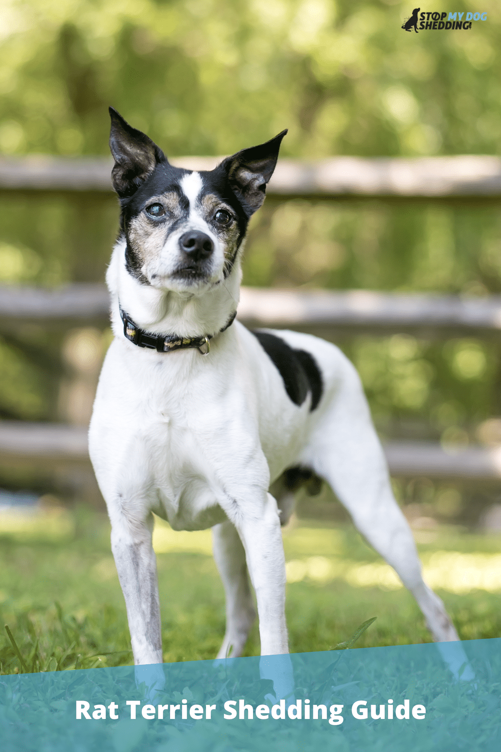 Do Rat Terriers Shed? (Shedding and Grooming Guide)