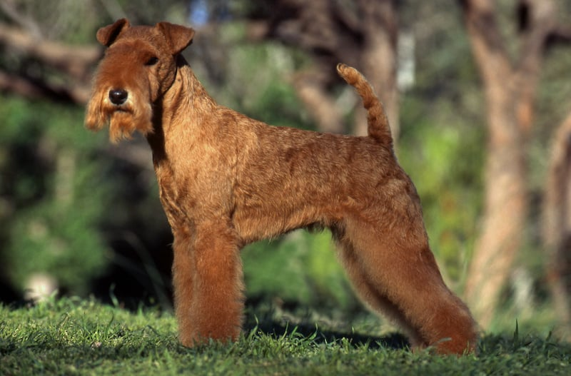 Side angle view of a tan colored Lakeland Terrier standing outside.