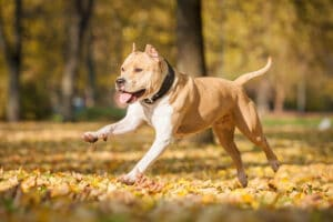 American Staffordshire Terrier running in the park in autumn.