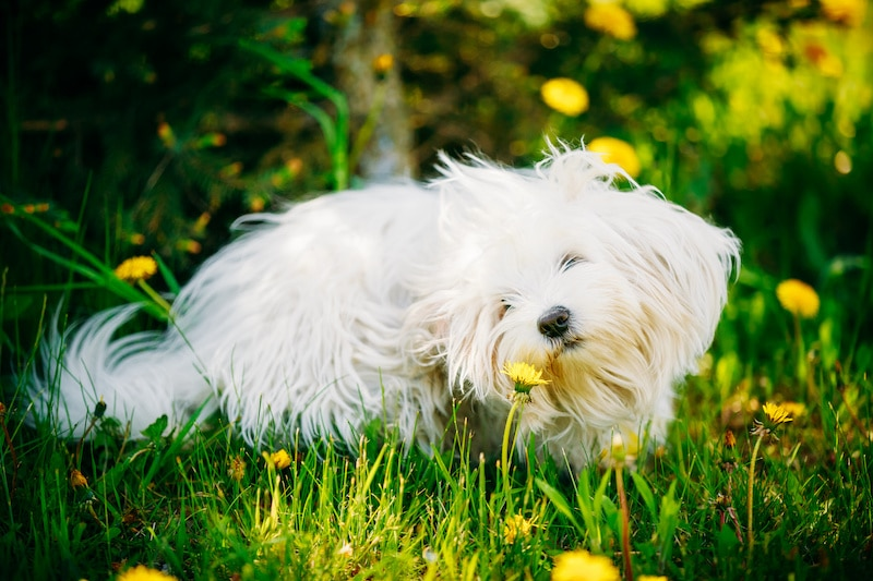 White Bolognese Dog sitting in green grass and sniffing dandelion flowers in park.