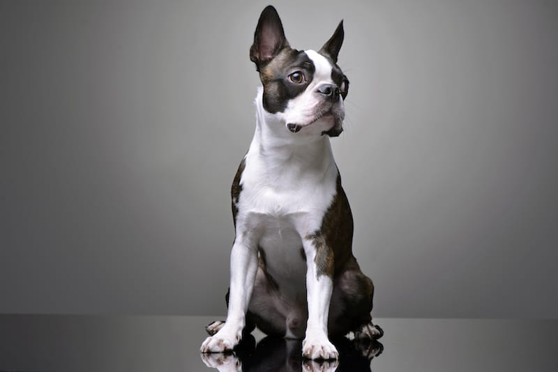 Studio shot of an adorable Boston Terrier sitting on grey background.