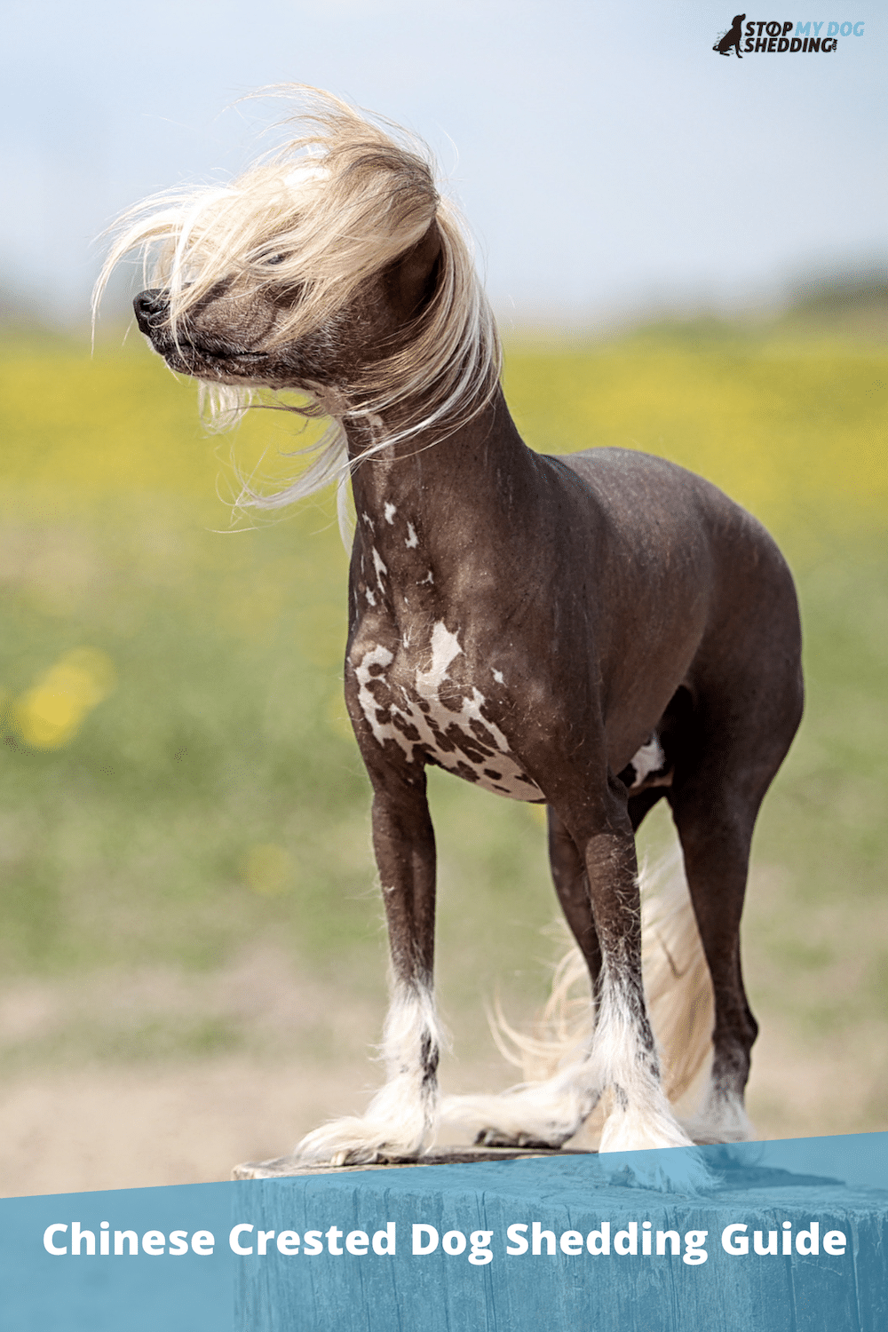 Do Chinese Crested Dogs Shed?