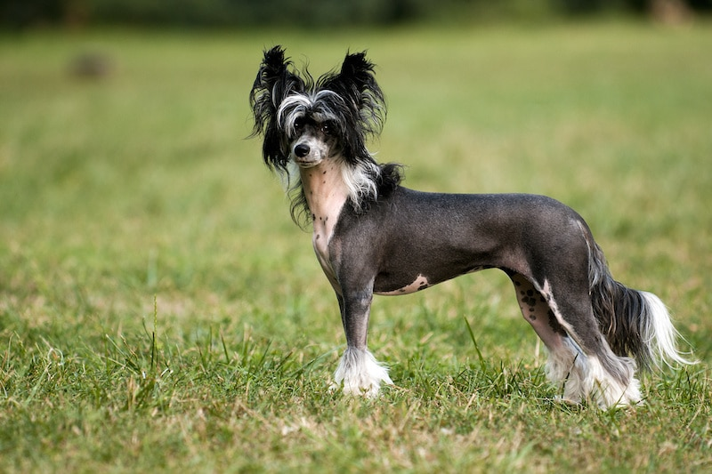 Portrait of purebred Chinese Crested Dog.