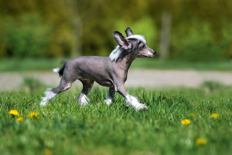 Hairless Chinese Crested puppy walking outside on grass.