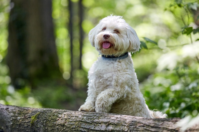 White Havanese dog standing on a tree trunk.