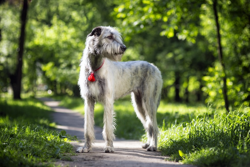 Portrait of an Irish Wolfhound in a summer nature park.