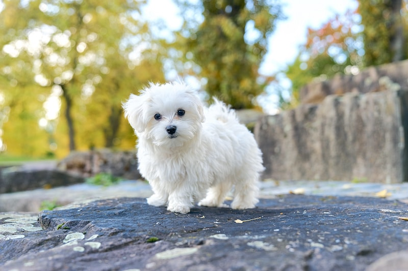 Small white Maltese Dog standing on large rock.