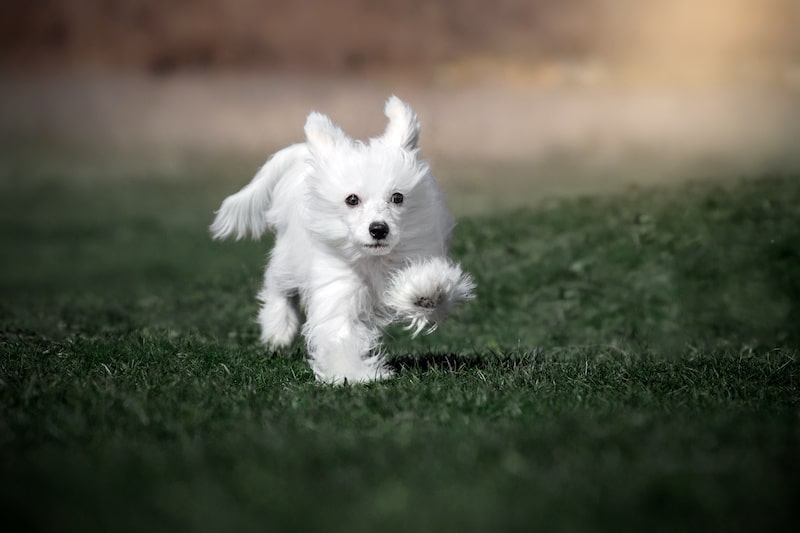 White Powderpuff Chinese Crested walking on green grass.