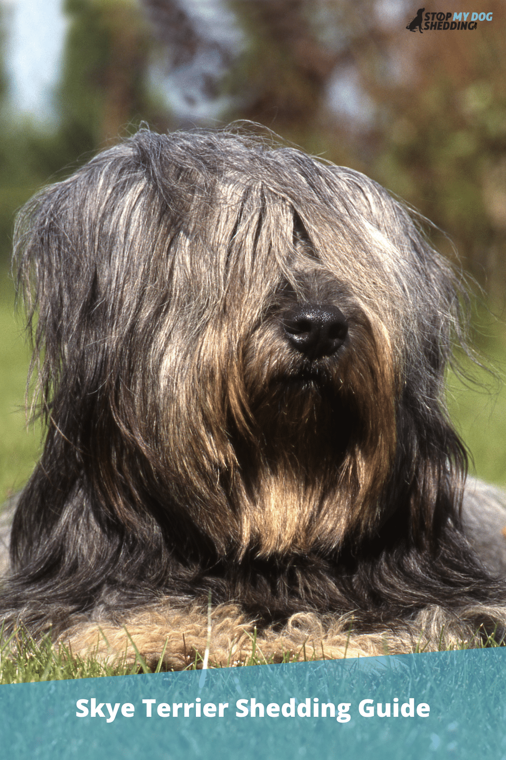 Do Skye Terriers Shed? (All You Need To Know)