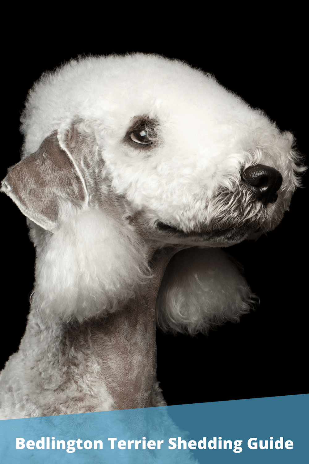 Do Bedlington Terriers Shed? (What To Expect)
