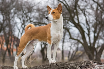 Basenji dog shows it's exterior standing on a tree branch.