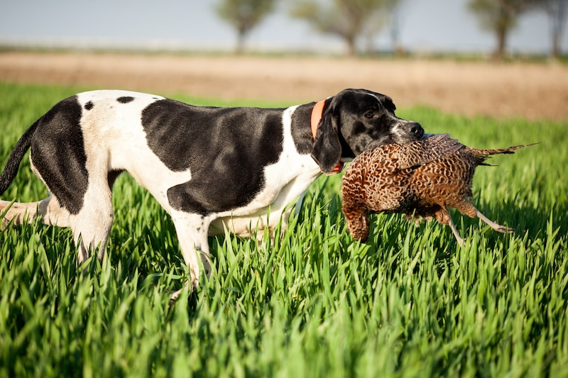 English Pointer dog breed with pray in mouth walking in green grass.