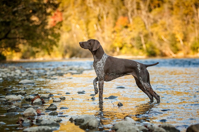 German Shorthaired Pointer, pointing in a fall water scene.