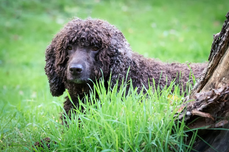 Brown Irish Water Spaniel surrounded by long green grass.