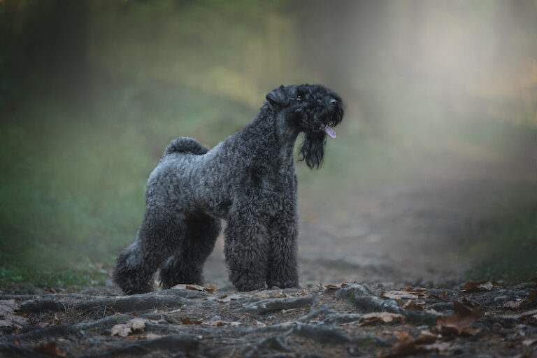 Kerry Blue Terrier dog standing in the forest.