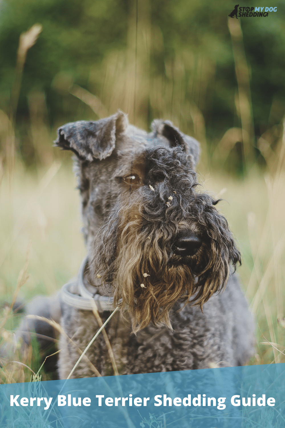 Do Kerry Blue Terriers Shed? (Shedding & Grooming Guide)