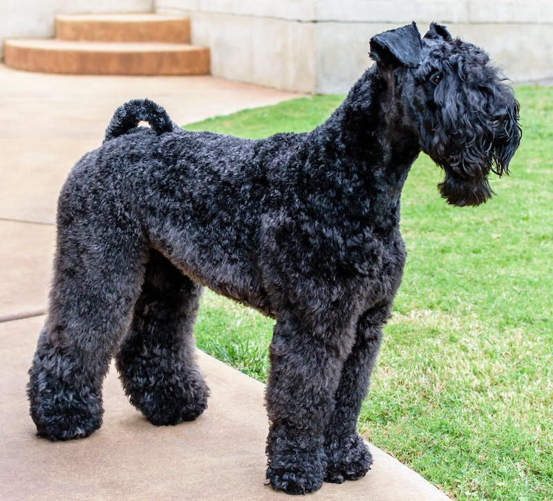 Neatly groomed Kerry Blue Terrier standing on footpath next to green lawn.