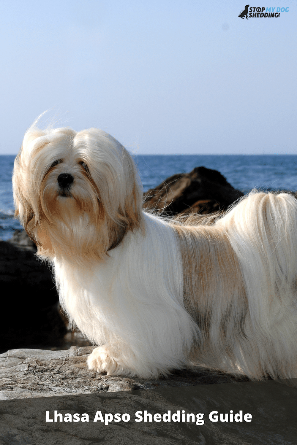 Do Lhasa Apso Dogs Shed? (Shedding and Grooming Guide)