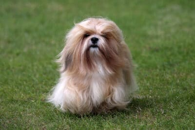 Lhasa Apso with long hair standing on green grass.