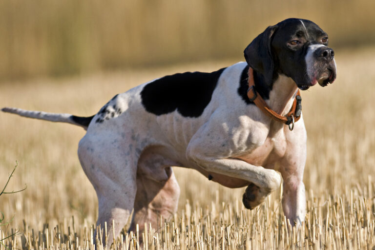 Hunting dog standing in a grassy field.