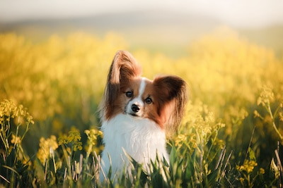 Papillon dog standing in a field with flowers.