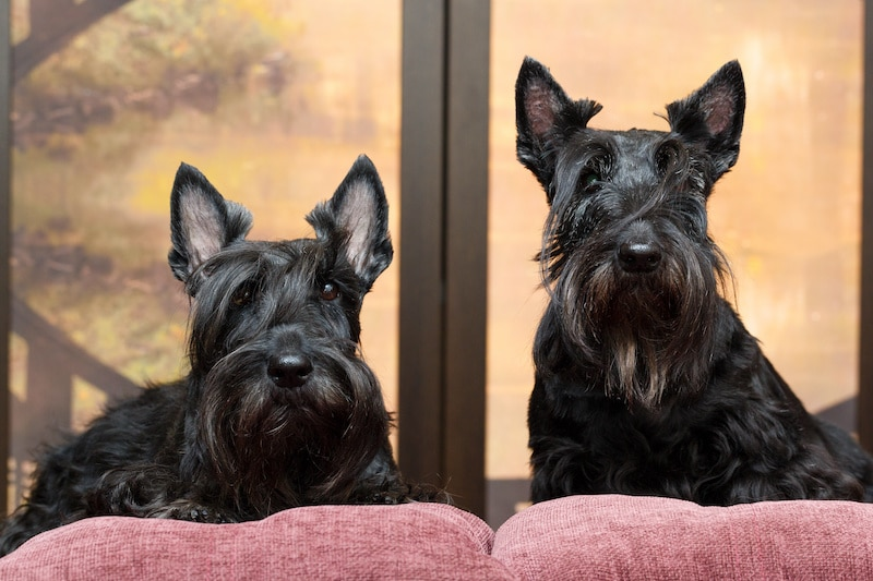 Two black Scottish Terrier dogs sitting side-by-side.