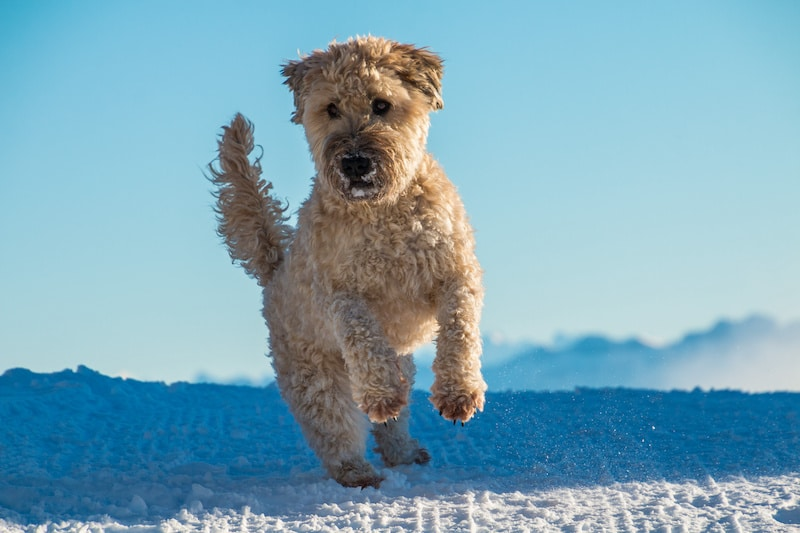 Soft-Coated Wheaten Terrier running in snow.
