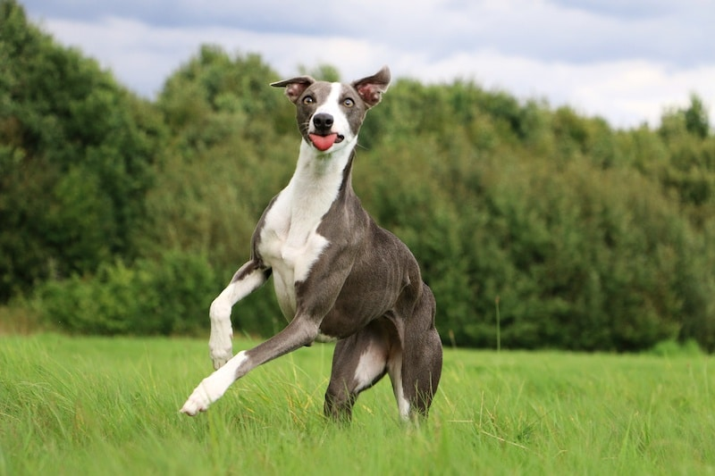 Whippet playing outside with ball.