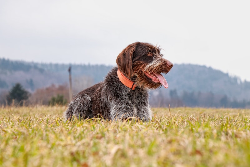 Wirehaired Pointing Griffon laying outside.