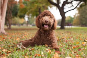 Happy Labradoodle outside laying in autumn leaves.